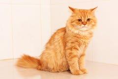 Nette orange persische Katze Lizenzfreies Stockbild