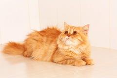 Nette orange persische Katze Stockfotos