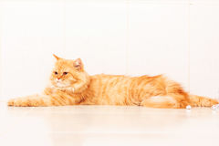 Nette orange persische Katze Stockbilder