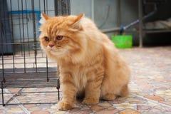 Nette orange persische Katzen Stockbild