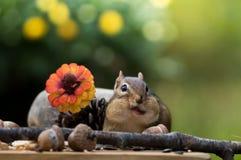 Nette Oststreifenhörnchenbacken sind gefüllter soviel Mund wird schräg gelegen Stockfotografie