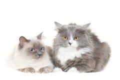 Nette Paare der Katzen sitzen auf Weiß Stockbilder