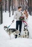 Nette Paare mit sibirischem Husky zwei werden auf Hintergrund der schneebedeckten Waldwinterhochzeit aufgeworfen gestaltungsarbei Stockfotos