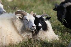 Nette Paare von den großen weißen und schwarzen RAM-Schafen, die auf dem Gebiet liegen und den sonnigen Tag genießen stockfotografie