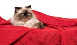 Nette persische colourpoint Katze liegt auf einer weichen roten Decke Lizenzfreies Stockbild