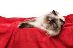 Nette persische colourpoint Katze liegt auf einer weichen roten Decke Lizenzfreies Stockfoto