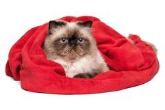 Nette persische colourpoint Katze liegt bedeckte mit einer roten Decke Lizenzfreie Stockfotografie