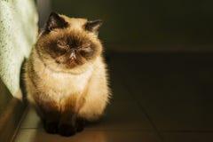 Nette persische exotische Katze schraubt oben ihre Augen im Sonnenlicht Selektiver Fokus Lizenzfreie Stockfotografie