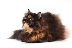 Nette persische Katze Stockbilder