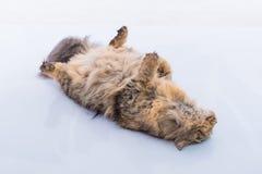 Nette persische Katze Stockfotografie