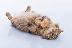 Nette persische Katze Lizenzfreie Stockbilder