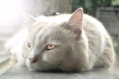 Nette persische Katze Lizenzfreies Stockfoto