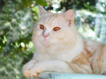 Nette persische Katze Lizenzfreie Stockfotografie