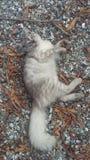 Nette persische Katze auf kleinen Felsen stockbild