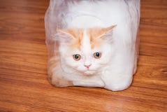 Nette persische Katze in der Plastikhülle auf Holzfußboden Lizenzfreies Stockbild