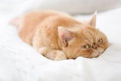 Nette persische Katze, die auf Bett legt Stockbild