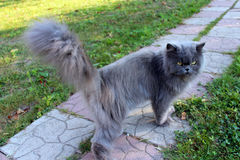 Nette persische Katze, die auf den Weg geht Stockbild