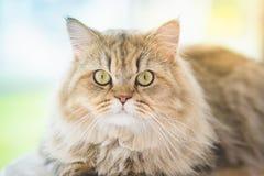 Nette persische Katze, die auf Katzenturm liegt Lizenzfreies Stockfoto