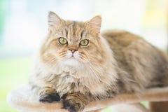 Nette persische Katze, die auf Katzenturm liegt Lizenzfreie Stockfotos