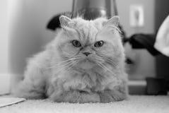 Nette persische Katze, die auf Teppich legt Stockfoto