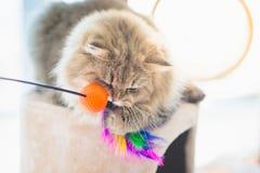 Nette persische Katze, die Spielzeug spielt Stockbild