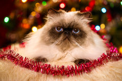 Nette persische Katze, die vor einem Weihnachtsbaum liegt Lizenzfreie Stockbilder