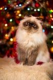 Nette persische Katze, die vor einem Weihnachtsbaum sitzt Lizenzfreies Stockbild