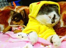 Nette persische Katze, kleiner Hund und ein Hamster durch Yutafamily am Haustiervielzahlereignis Stockfotos