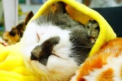 Nette persische Katze, kleiner Hund und ein Hamster durch Yutafamily am Haustiervielzahlereignis Stockfoto