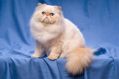 Nette persische Sahne-colorpoint Katze, die auf einem blauen Hintergrund sitzt Lizenzfreies Stockbild