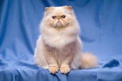 Nette persische Sahne-colorpoint Katze, die auf einem blauen Hintergrund sitzt Lizenzfreie Stockfotografie
