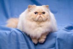 Nette persische Sahne-colorpoint Katze liegt auf einem blauen Hintergrund Stockbilder