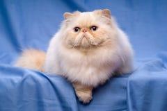 Nette persische Sahne-colorpoint Katze liegt auf einem blauen Hintergrund Stockfotos