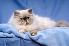 Nette persische tortie colorpoint Katze liegt auf einem blauen Hintergrund Lizenzfreie Stockfotos
