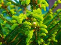 Nette Picea van Noorwegen abies - denneappels Royalty-vrije Stock Foto's