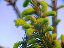 Nette Picea van Noorwegen abies - denneappels Stock Afbeelding