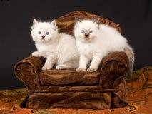Nette Ragdoll Kätzchen auf braunem Stuhl Stockfotografie