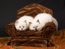 Nette Ragdoll Kätzchen auf braunem Stuhl Stockbilder