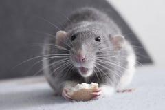 Nette Ratte Stockfoto