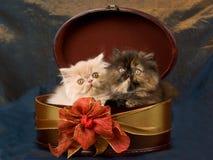 Nette recht persische Kätzchen im Kasten Lizenzfreies Stockbild