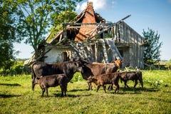 Nette reizende Angus-Kuhfamilie vor altem vernachlässigtem Bauernhof auf Gras am sonnigen Tag stockfoto