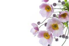 Nette rosa Blumen auf einem weißen Hintergrund Lizenzfreies Stockfoto