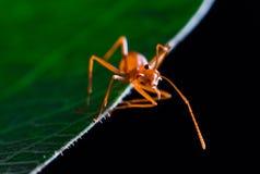 Nette rote Ameise auf grünem Blatt Stockbild