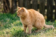Nette rote Katze im Garten E Lizenzfreie Stockfotografie