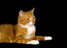 Nette rote Katze, schwarzer Hintergrund stockfotografie