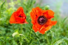Nette rote Mohnblume im Sonnenlicht Lizenzfreie Stockbilder