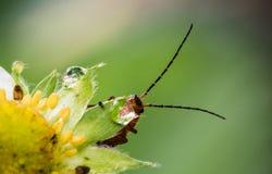 Nette rote orange Insektenwanze mit den enormen Antennen, die Blatt halten und vom Wassertropfen auf gelber Erdbeerblume trinken, Lizenzfreies Stockbild
