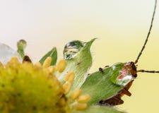Nette rote orange Insektenwanze mit den enormen Antennen, die Blatt halten und vom Wassertropfen auf gelber Erdbeerblume trinken, Stockfotos