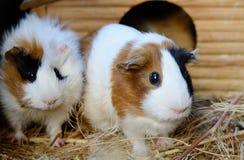Nette rote und weiße Meerschweinchen-Nahaufnahme Haustier in seinem Haus lizenzfreie stockfotos