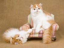 Nette rote und weiße persische Kätzchen auf braunem Stuhl Lizenzfreies Stockfoto